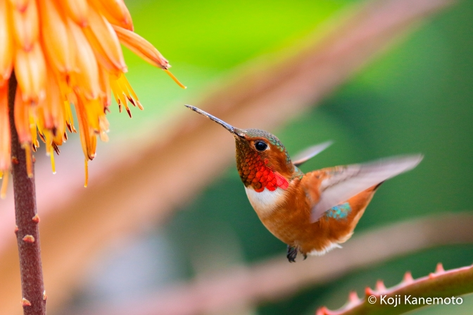 How I Photograph Hummingbirds